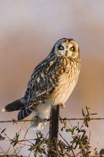 Short-eared Owl on fence post Prairie Ridge State Natural Ar... von Danita Delimont