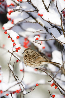 Song Sparrow in Common Winterberry in winter, Marion, Illinois, USA. by Danita Delimont
