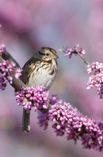 Song Sparrow in Redbud tree, Marion, Illinois, USA. by Danita Delimont