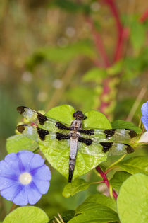 Twelve-spotted Skimmer male on Morning Glory near wetland, M... by Danita Delimont