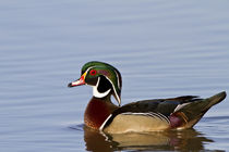 Wood Duck male in wetland, Marion, Illinois, USA. by Danita Delimont