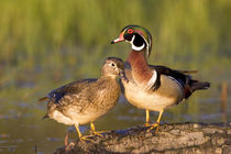 Wood Ducks male and female on log in wetland, Marion, Illinois, USA. by Danita Delimont
