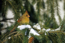 Northern Cardinal female in spruce tree in winter, Marion, IL by Danita Delimont