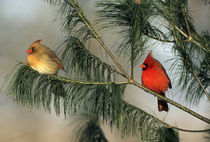 Northern Cardinal male and female in pine tree, Marion, IL von Danita Delimont
