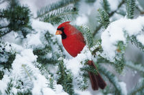 Northern Cardinal male in fir tree in winter, Marion, IL by Danita Delimont