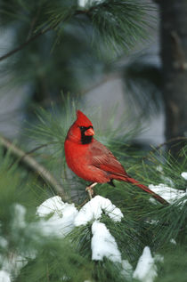 Northern Cardinal male in Pine tree in winter, Marion, Illinois by Danita Delimont