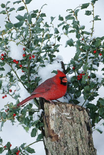 Northern Cardinal male on stump near China Holly in winter, Marion, IL by Danita Delimont