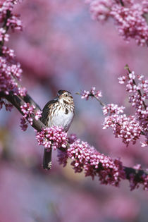 Song Sparrow in Eastern Redbud tree, Marion, IL by Danita Delimont