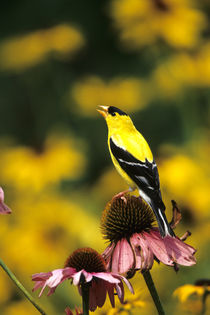 American Goldfinch male singing on purple coneflower Marion ... by Danita Delimont