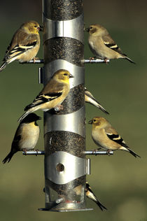 American Goldfinches at nyjer, thistle tube feeder, Marion C... by Danita Delimont