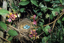 American Robin nest with four eggs in Gold Flame Honeysuckle... von Danita Delimont