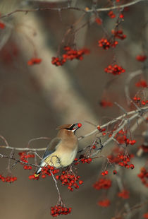 Cedar Waxwing eating hawthorn berry Sangomon Co by Danita Delimont