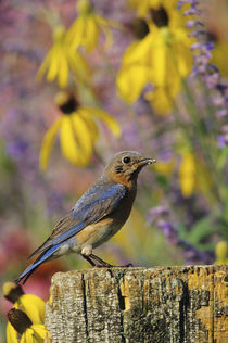 Eastern Bluebird female on fence post in flower garden Mario... von Danita Delimont
