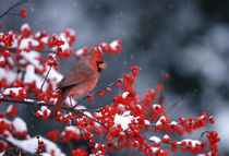 Northern Cardinal male in Common Winterberry in winter Mario... by Danita Delimont