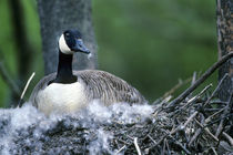 Canada goose sitting on nest, Illinois by Danita Delimont