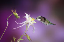Ruby-throated Hummingbird female on McKana Hybrid Columbine,... von Danita Delimont
