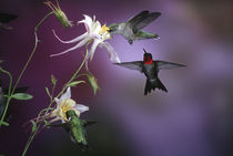 Ruby-throated Hummingbirds males and female at McKana Hybrid... von Danita Delimont