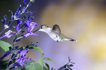 Ruby-throated Hummingbird on Black and Blue Salvia, Illinois von Danita Delimont
