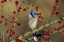Blue Jay in icy Green Hawthorn tree, Marion County, Illinois von Danita Delimont