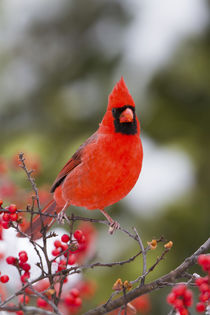 Northern Cardinal male in Common Winterberry bush in winter,... von Danita Delimont