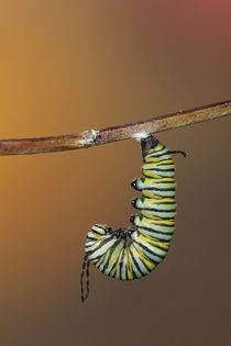 Monarch larva in prepupal 'J' before pupating-forming chrysa... by Danita Delimont