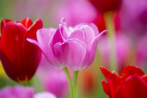 Red and pink tulips, Cantigny Park, Wheaton, Illinois von Danita Delimont