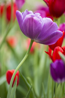 Purple and red tulips, Cantigny Park, Wheaton, Illinois by Danita Delimont