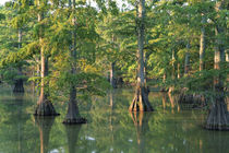 Bald cypress trees at Horseshoe Lake Cons by Danita Delimont