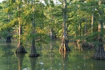 Bald cypress trees at Horseshoe Lake Cons von Danita Delimont