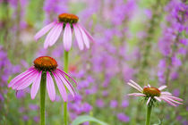 Purple Coneflowers Marion County, Illinois by Danita Delimont