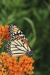 Monarch on Butterfly Milkweed, Marion County, Illinois von Danita Delimont
