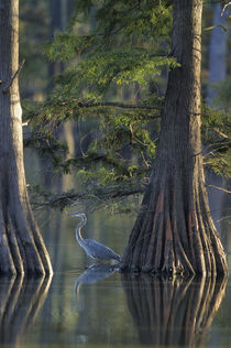 Great Blue Heron fishing near cypress trees, Horseshoe Lake ... by Danita Delimont