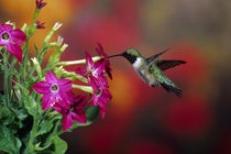 Ruby-throated Hummingbird male at Winged tobacco, Illinois by Danita Delimont