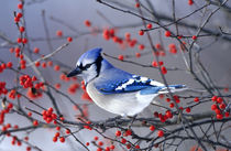 Blue Jay in Winterberry Bush in winter Marion County, Illinois by Danita Delimont