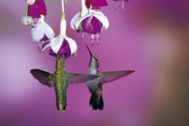 Ruby-throated Hummingbirds females at Hybrid Fuchsia, Shelby... by Danita Delimont