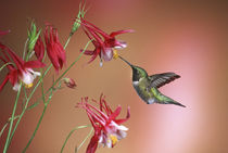 Ruby-throated Hummingbird male on Crimson Star Columbine, Illinois by Danita Delimont