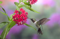 Ruby-throated Hummingbird male on Red Pentas, Marion County, Illinois von Danita Delimont