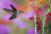 Ruby-throated Hummingbird on Cardinal Flower, Marion County, Illinois by Danita Delimont