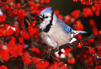 Blue Jay in Common Winterberry squawking in winter, Marion C... by Danita Delimont