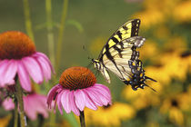 Eastern Tiger Swallowtail butterfly on Purple Coneflower, Ma... by Danita Delimont