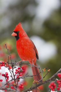 Northern Cardinal male in Common Winterberry bush in winter,... by Danita Delimont