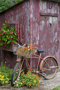 Old bicycle with flower basket next to old outhouse garden shed von Danita Delimont