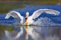 Mute swan in the pond, Rising Sun, Indiana, USA. by Danita Delimont