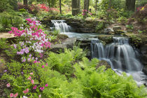 Waterfall with ferns and azaleas at Azalea Path Arboretum & ... by Danita Delimont