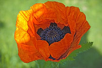 Close-up of a flowering orange poppy plant. von Danita Delimont