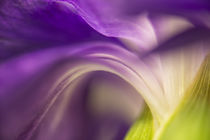 Close-up of the back of a purple carnation flower. von Danita Delimont