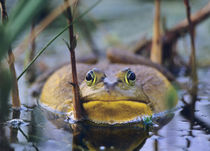 American Bullfrog in a marsh, Indiana USA by Danita Delimont