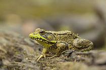 Southern Leopard Frog, Rana sphenocephala, Kentucky by Danita Delimont