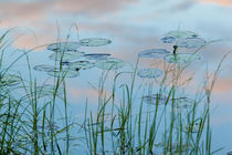 Water lilies in Lone Jack Pond in Maine's Northern Forest by Danita Delimont
