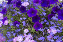 Close up of purple flowers, York, Maine, USA by Danita Delimont